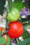 Green and red tomato stock photography