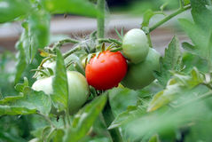 Green and red tomato growing Stock Image