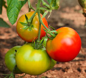 Green and red tomatoes Royalty Free Stock Images