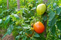 Green and red tomatoes Royalty Free Stock Photo