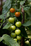Green and red tomatoes. On a branch Stock Photo