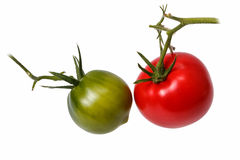 Green and red tomatoes on the branches. Isolated Royalty Free Stock Images