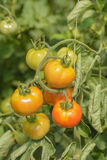Green and red tomatoes Stock Photos