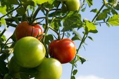 Green and Red Tomatoes on a plant Stock Photography