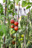 Green and red tomatoes Royalty Free Stock Image