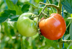 Green and red tomatoes Royalty Free Stock Photography