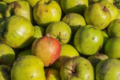 Green and red windfall apples close up background. Royalty Free Stock Photos