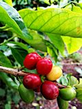 Green red yellow kona coffee beans. Coffee plant tree bean beans red cherry coffee picking kona coffee hawaiian coffee beans stock images