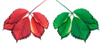 Green and red yellowed leaves (virginia creeper leafs) Royalty Free Stock Images