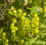 Green redcurrant. The berries of green redcurrant on the bush Stock Images