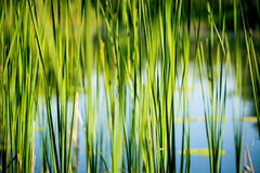 Green reed abstract background Royalty Free Stock Photos