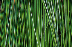 Green reed background Stock Photo