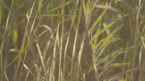 Green reed background. Stock. Close-up of reed bushes rustling in wind. Summer lush green vegetation in warm sun.  stock video footage
