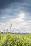 Green reed backlit Stock Photography