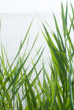 Green reed Royalty Free Stock Photography