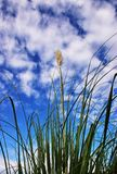 Bush against the sky. Green reed bush low angle against blue sky and clouds royalty free stock images