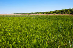 Green reed field Royalty Free Stock Photo