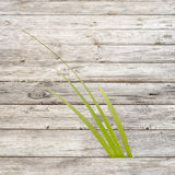 Green reed growing in gap between wooden pathway Stock Image