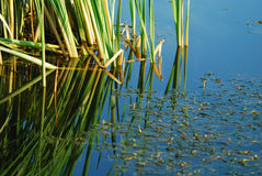 Green reed in lake Royalty Free Stock Photo