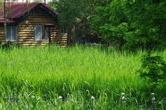 Green reed marshland and a house. The green reed marshland like meadow, and some trees are aside them Stock Image