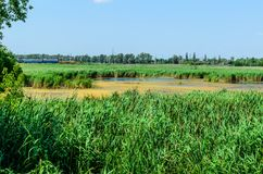 Green reed plants in a lake royalty free stock photos