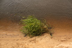 Green reed on river bank. Royalty Free Stock Images
