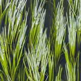 Green reed in the river Royalty Free Stock Photo