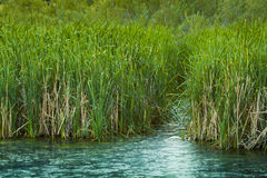 Green Reed Wetlands Royalty Free Stock Images