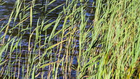 Green reed in the wind. The bank of small pond. stock footage