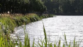 Green reed in the wind. The bank of small pond. stock video footage