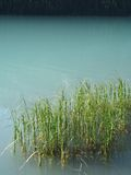 Green reeds Royalty Free Stock Images