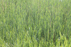 Green reeds background Royalty Free Stock Photo
