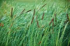 Green reeds background. Green reeds on the golf course close up Royalty Free Stock Photo