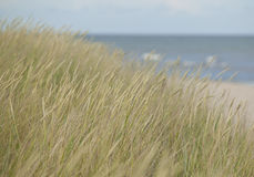 Green reeds on the beach.GN. Green reed standing on the beach with ocean in the background.GN royalty free stock image