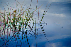 Green reeds in blue water. Reflecting shadows royalty free stock photography