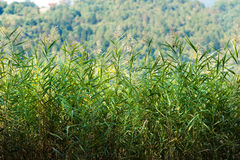 Green Reeds with Blurred Forest Stock Photography