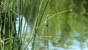 Green Reeds With Dragonflies And Pond stock footage