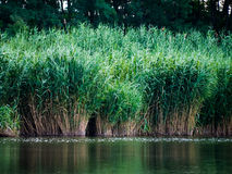 Green reeds are growing close to the river in spring. Quiet atmosphere Royalty Free Stock Image