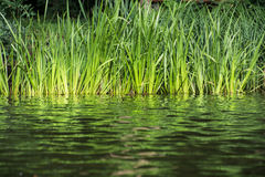 Green reeds on the lake shore. Royalty Free Stock Photography