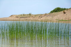 Green reeds in the lake waters. Royalty Free Stock Images