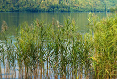 Green Reeds - Levico Lake Italy Stock Images