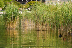 Green Reeds - Levico Lake Italy Royalty Free Stock Photography