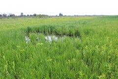 Green reeds in marsh Royalty Free Stock Photos