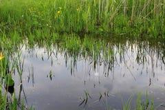 Green reeds in marsh Stock Photo