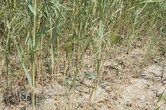 Green reeds in marsh Royalty Free Stock Image