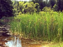 Green reeds by pond. Green reeds by brown pond Royalty Free Stock Photography