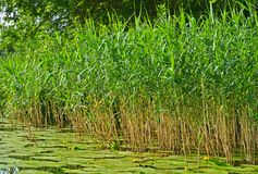 Green reeds on the river. Blossoming Water-lily Royalty Free Stock Image