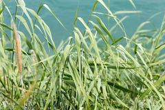 Green reeds on the river. In the park in nature Stock Image