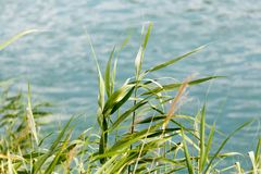 Green reeds on the river. In the park in nature Royalty Free Stock Images