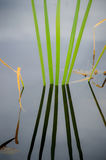 Green reeds in silent water. Green reeds with shadows in silent water stock photo